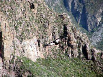 22 Condoren i världens djupaste Colca Canyon
